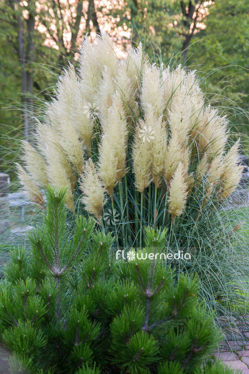 Cortaderia selloana - Pampas grass (107509)