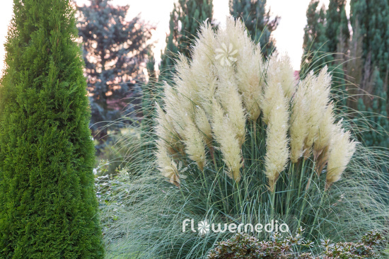 Cortaderia selloana - Pampas grass (107510)