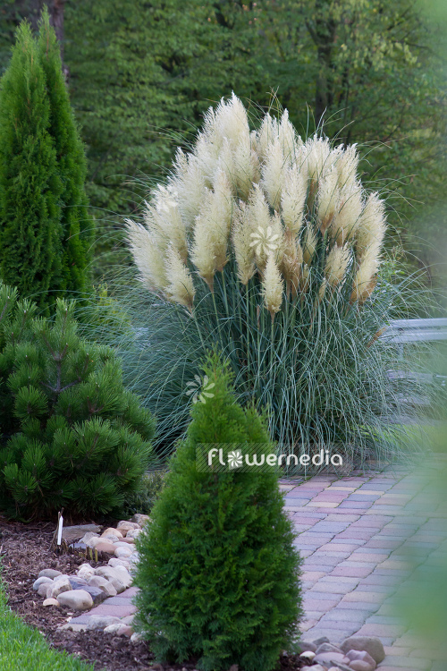 Cortaderia selloana - Pampas grass (107511)