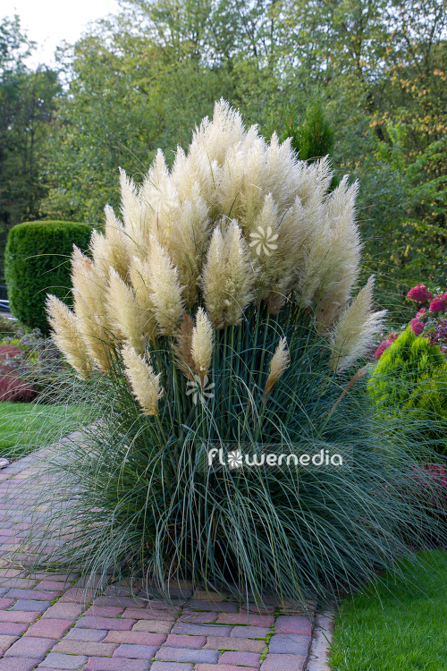Cortaderia selloana - Pampas grass (107512)