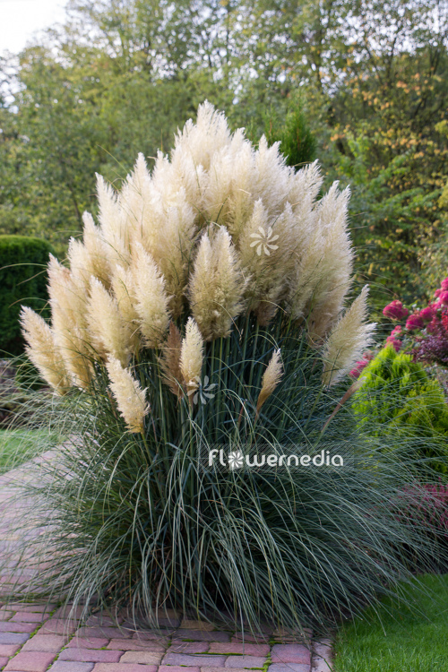 Cortaderia selloana - Pampas grass (107513)