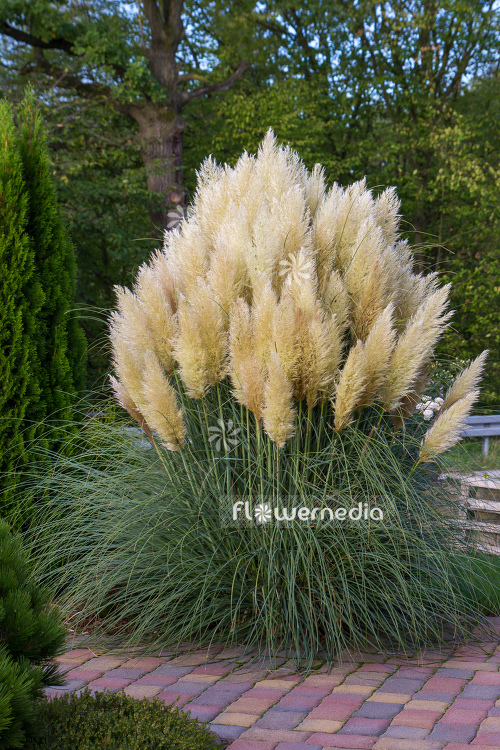 Cortaderia selloana - Pampas grass (107514)
