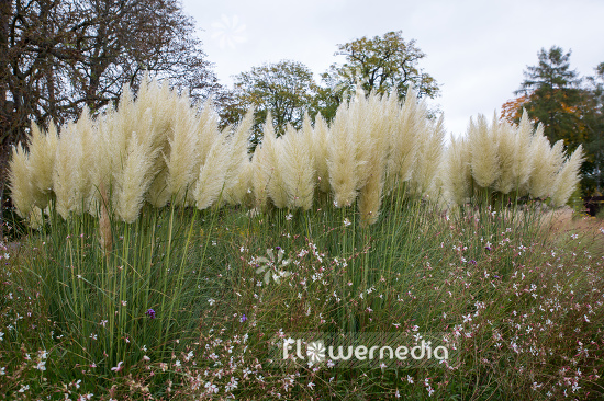 Cortaderia selloana - Pampas grass (107515)