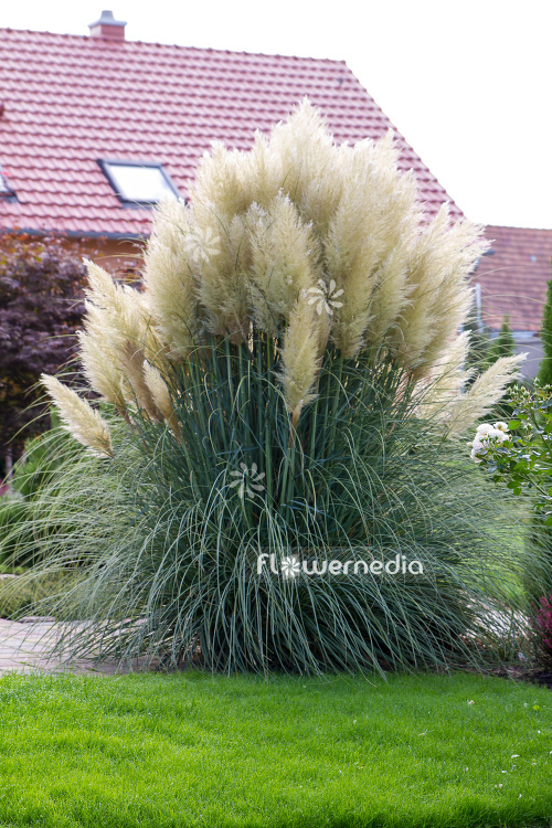 Cortaderia selloana - Pampas grass (107516)