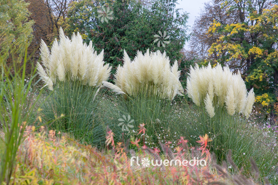 Cortaderia selloana - Pampas grass (107518)