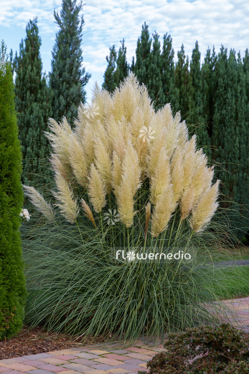 Cortaderia selloana - Pampas grass (107519)