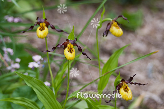 Cypripedium calceolus - Yellow ladies slipper (103068)