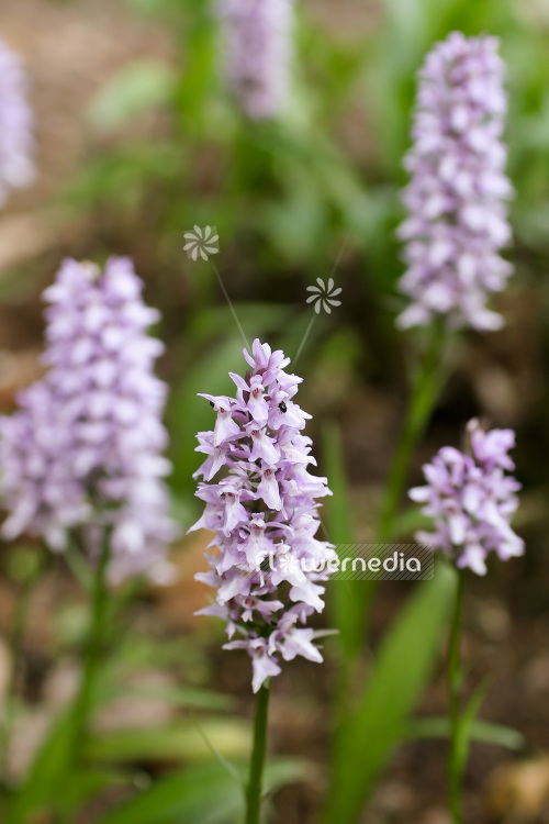 Dactylorhiza fuchsii - Common spotted orchid (103079)