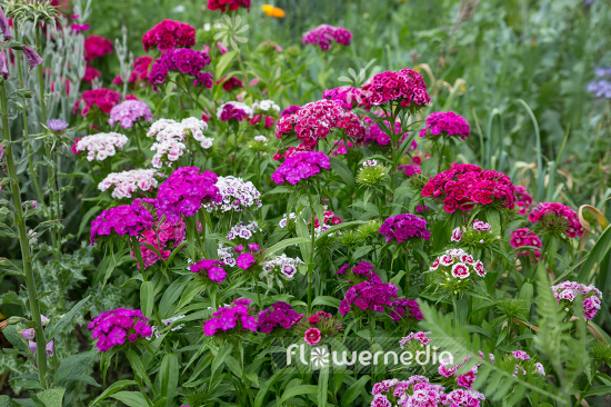 Dianthus barbatus - Sweet william (110077)