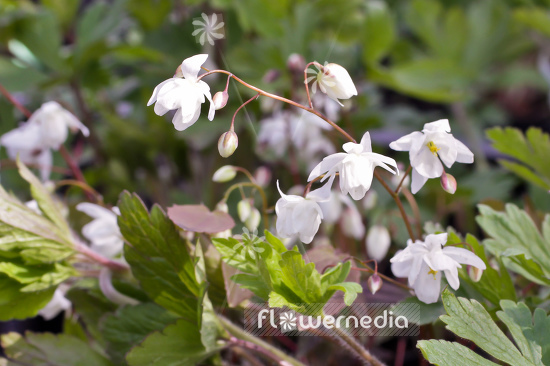 Epimedium x youngianum 'Niveum' - Snowy barrenwort (105979)