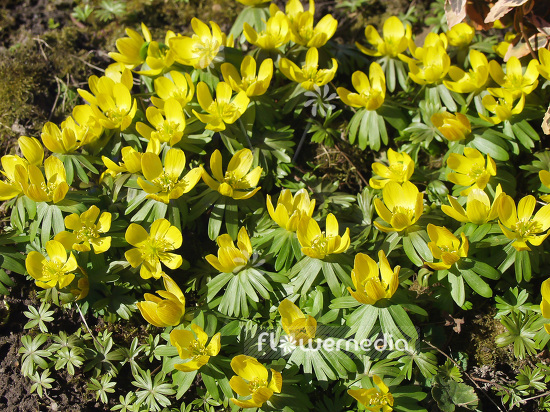Eranthis hyemalis - Winter aconite (106047)