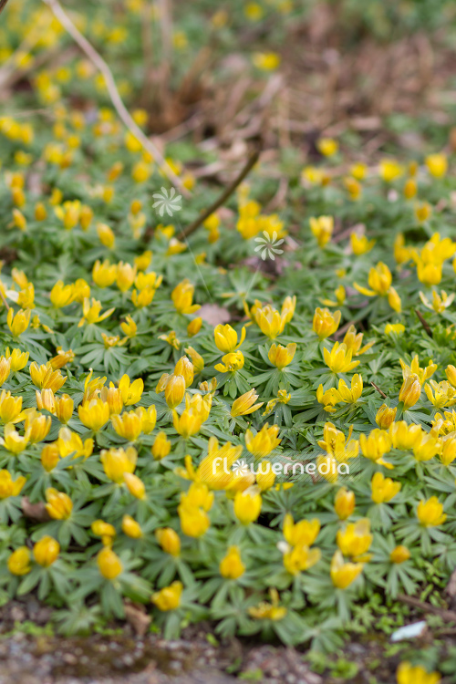 Eranthis hyemalis - Winter aconite (106055)