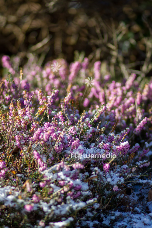 Erica carnea - Alpine heath (110060)