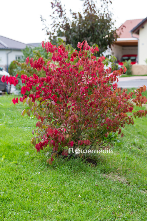 Euonymus alatus - Winged spindle tree (110105)