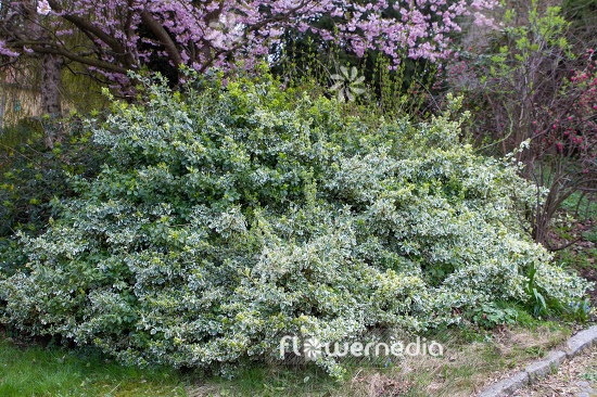 Euonymus fortunei 'Emerald Gaiety' - Winter creeper (110109)