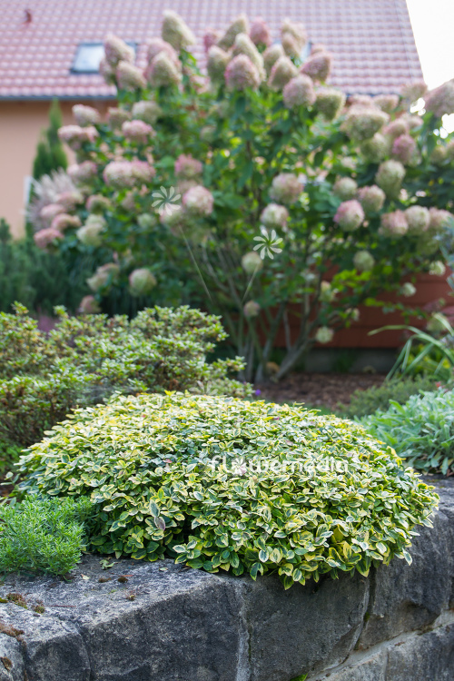 Euonymus fortunei 'Emerald'n Gold' - Winter creeper (110111)
