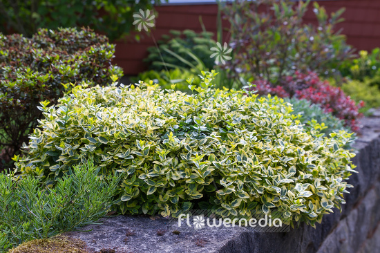 Euonymus fortunei 'Emerald'n Gold' - Winter creeper (110508)