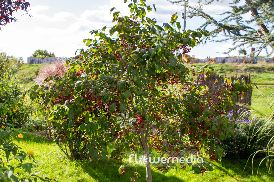 Euonymus planipes - Dingle-dangle tree (110122)