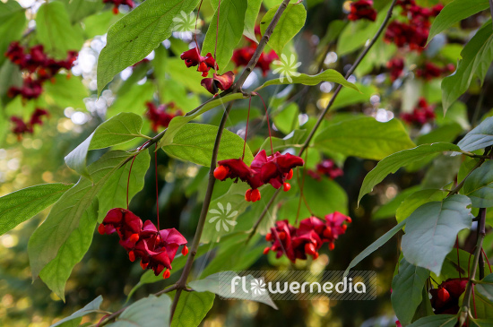 Euonymus planipes - Dingle-dangle tree (110124)