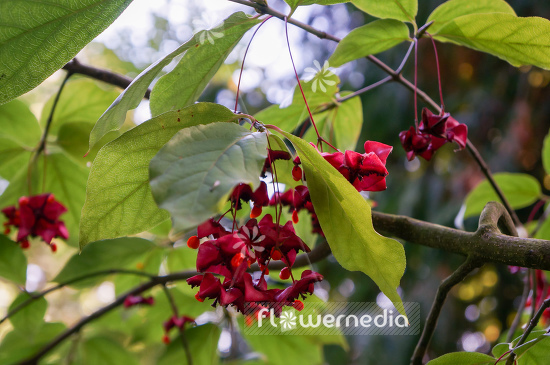Euonymus planipes - Dingle-dangle tree (110125)