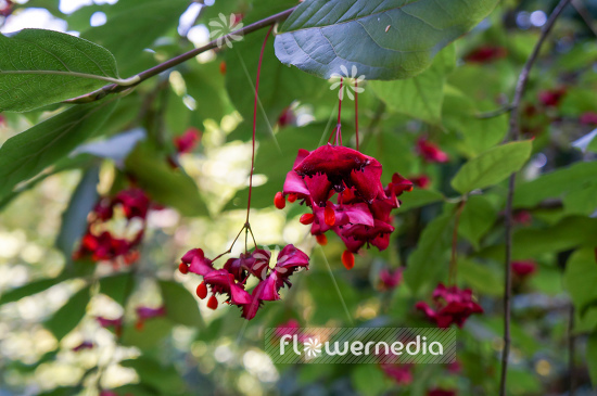 Euonymus planipes - Dingle-dangle tree (110126)