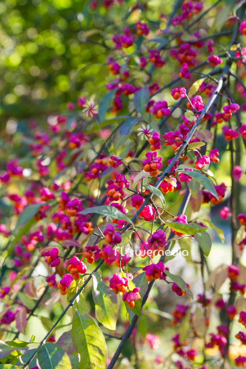 Euonymus planipes - Dingle-dangle tree (110510)