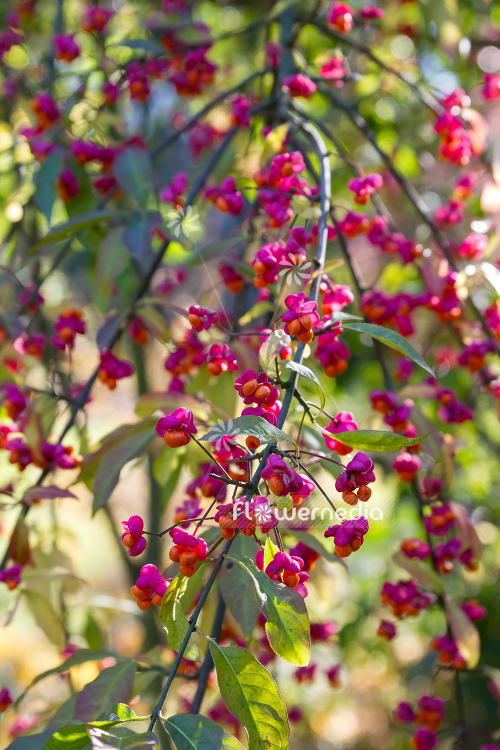 Euonymus planipes - Dingle-dangle tree (110511)