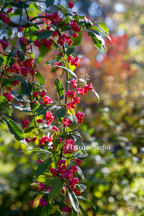 Euonymus planipes - Dingle-dangle tree (110512)