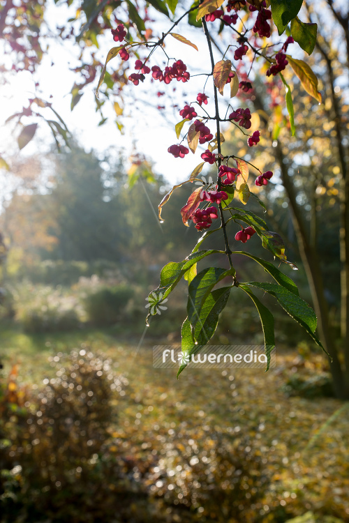 Euonymus planipes - Dingle-dangle tree (110513)