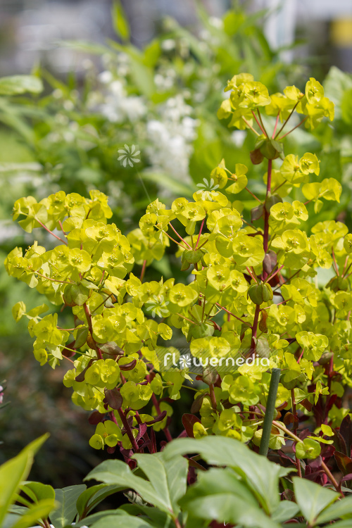 Euphorbia amygdaloides 'Purpurea' - Purple-leaved wood spurge (110133)