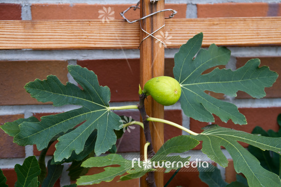 Ficus carica - Common fig (103374)