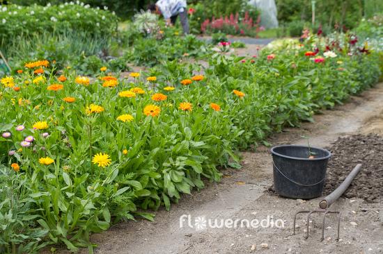 Flowering Marigolds in garden (106897) - flowermedia