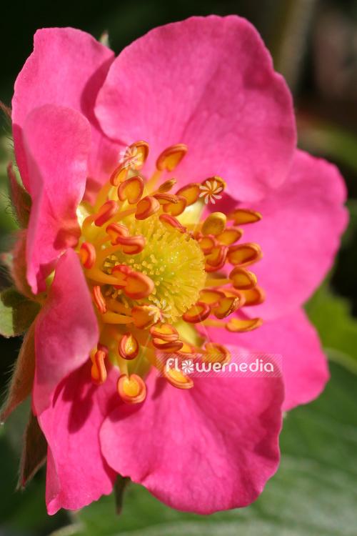 ... Fragaria U0027Pink Pandau0027   Garden Strawberry ...