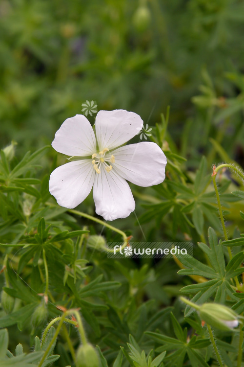 Geranium sanguineum album white flowered bloody cranesbill photos and pictures of flowers and plants gardens and gardening mightylinksfo Gallery