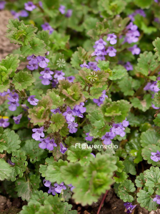 Glechoma hederacea - Ground-ivy (101008)