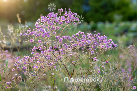 Gypsophila paniculata 'Flamingo' - Common gypsophila (110567)