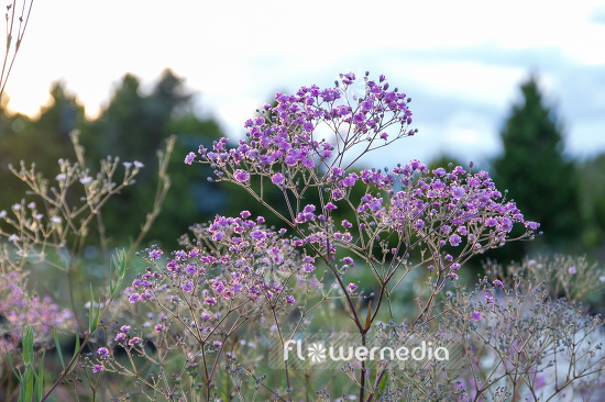 Gypsophila paniculata 'Flamingo' - Common gypsophila (110568)