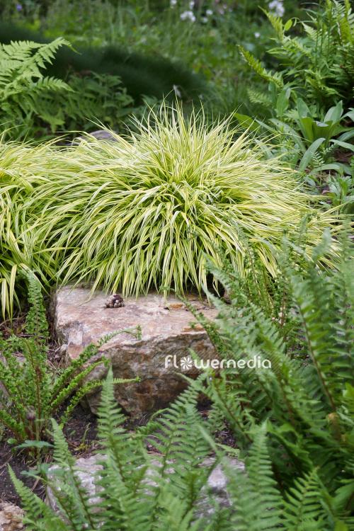gras hakonechloa macra