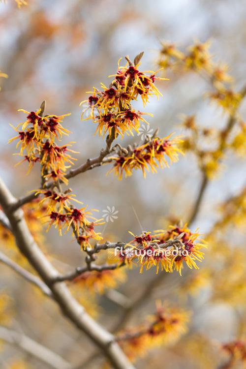 Hamamelis Japonica Japanese Witch Hazel 103572 Flowermedia