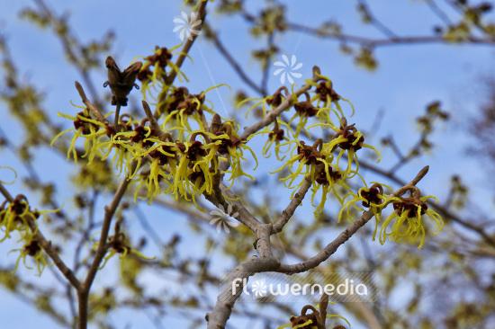 Hamamelis Japonica Japanese Witch Hazel 103573 Flowermedia