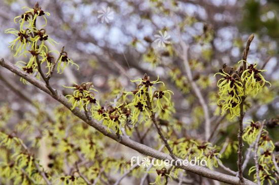 Hamamelis Japonica Japanese Witch Hazel 103574 Flowermedia