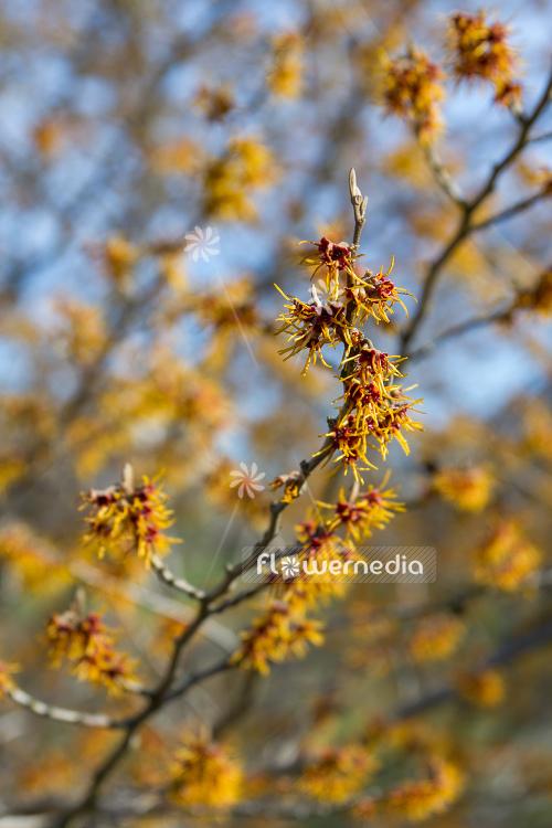 Hamamelis Japonica Japanese Witch Hazel 107784 Flowermedia