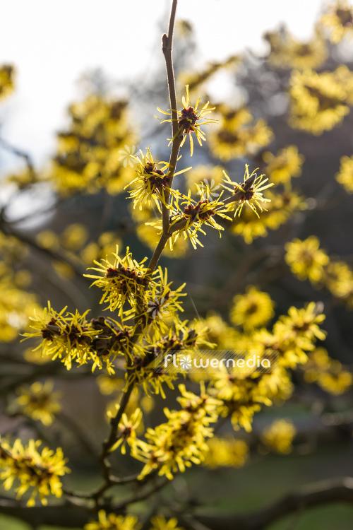 hamamelis virginiana f macrophylla american witch hazel 107796 flowermedia. Black Bedroom Furniture Sets. Home Design Ideas