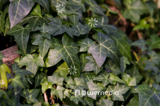 Hedera Helix 'Chicago'
