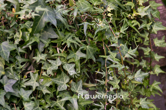 Hedera helix 'Kings Choice' - Ivy (110301)