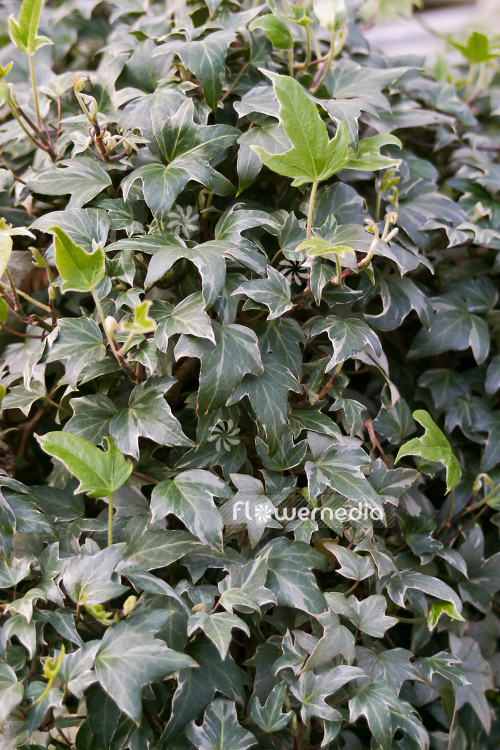 Hedera helix 'Silver Lace' - Ivy (110309)