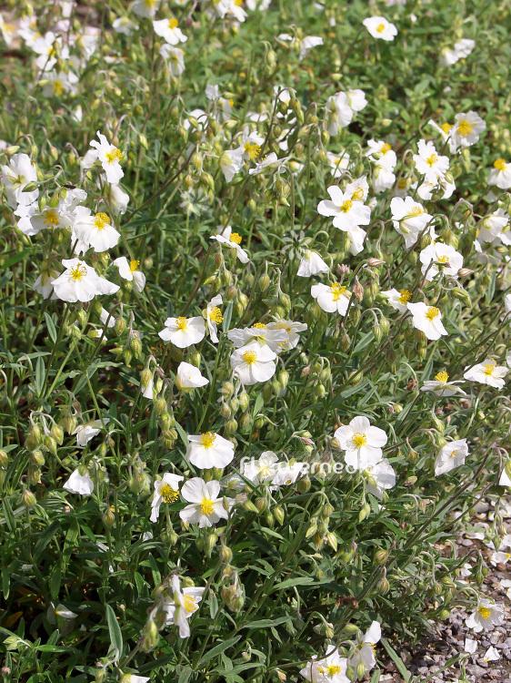 Helianthemum apenninum white rock rose 101035 flowermedia mightylinksfo