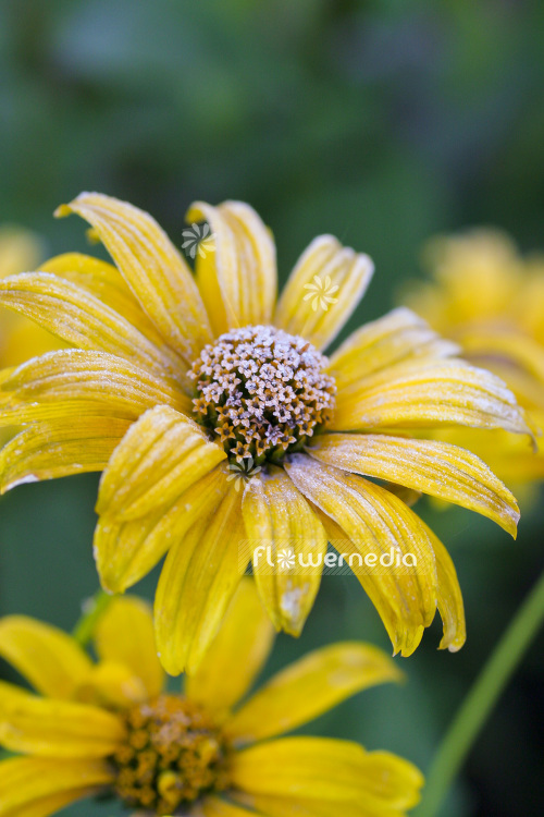 Heliopsis helianthoides - Ox-eye (103635)