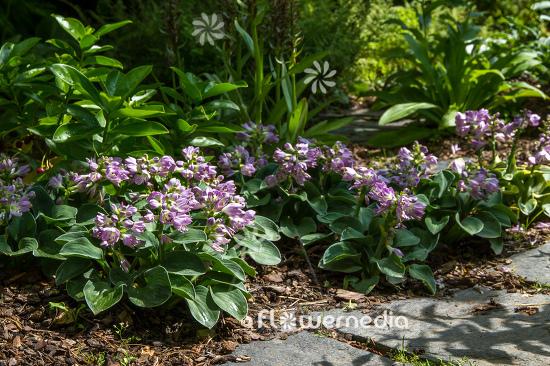 Hosta Blue Mouse Ears Plantain Lily 107839 Flowermedia