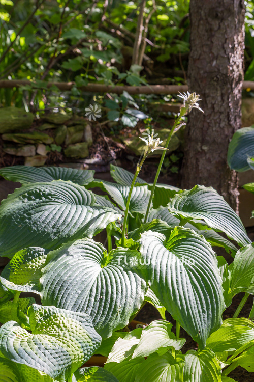 Hosta Bridal Falls Plantain Lily 107842 Flowermedia